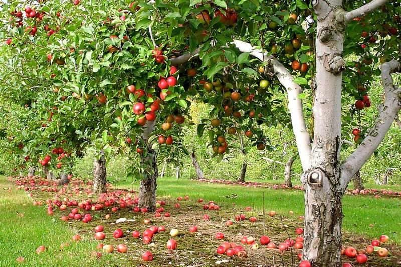 Сады фрукты